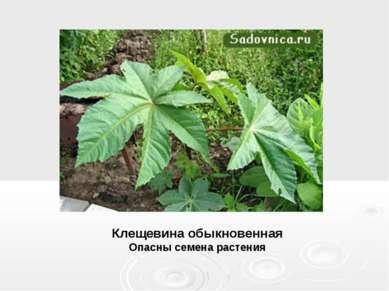 Клещевина обыкновенная Опасны семена растения