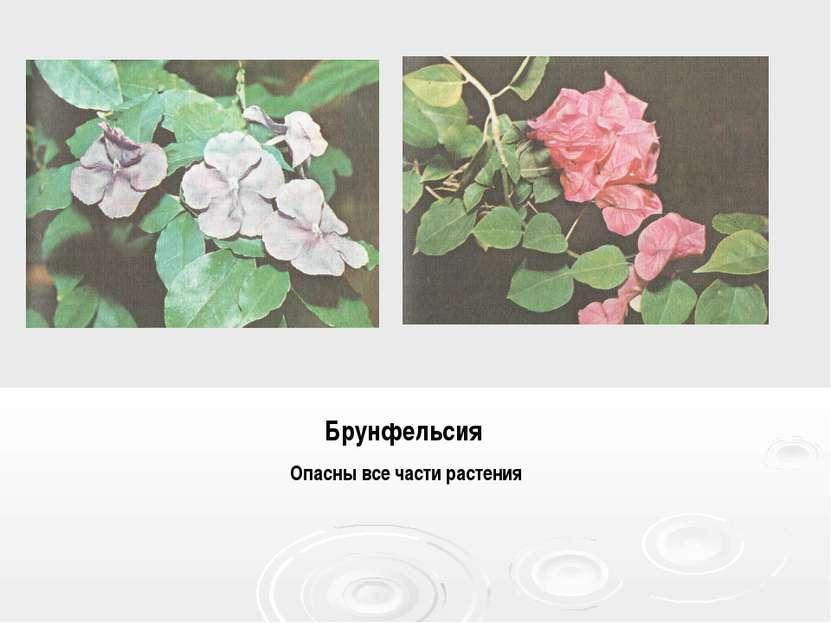 Брунфельсия Опасны все части растения