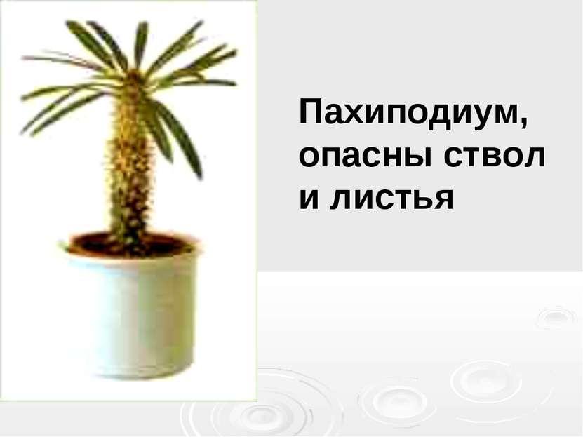 Пахиподиум, опасны ствол и листья