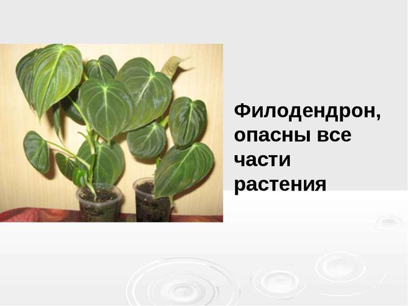 Филодендрон, опасны все части растения