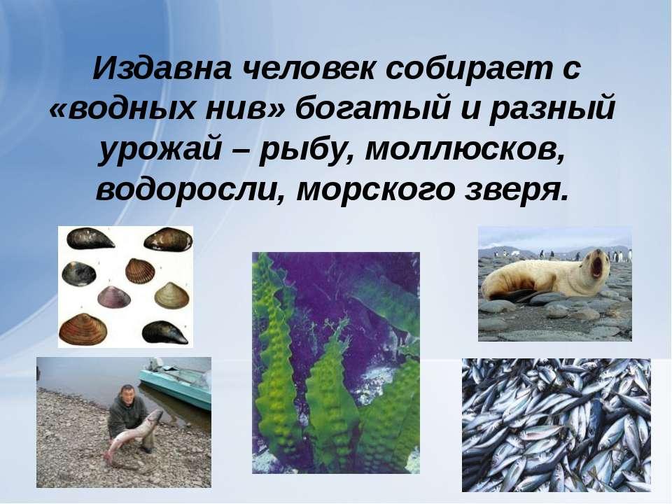 Издавна человек собирает с «водных нив» богатый и разный урожай – рыбу, моллю...