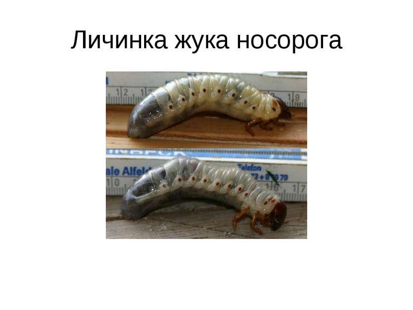 Личинка жука носорога