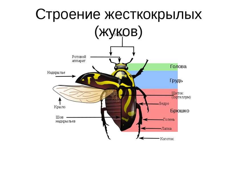 Строение жесткокрылых (жуков)