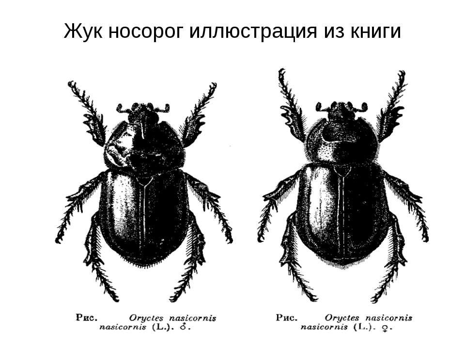 Жук носорог иллюстрация из книги