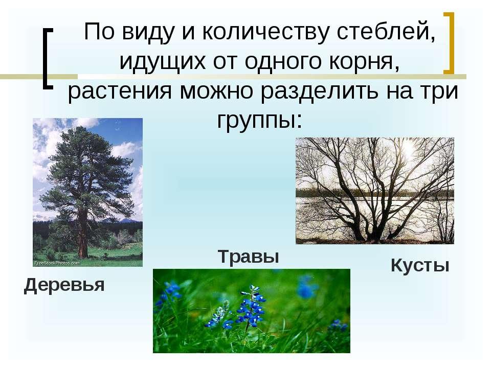 По виду и количеству стеблей, идущих от одного корня, растения можно разделит...
