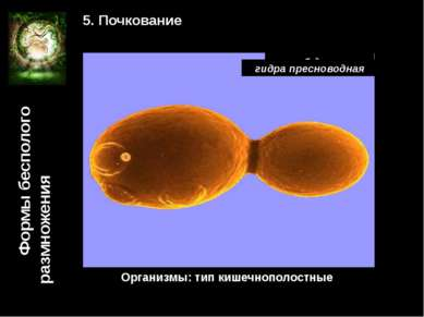 Формы бесполого размножения 5. Почкование гриб дрожжи Организмы: тип кишечноп...