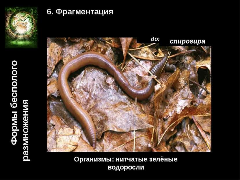 Формы бесполого размножения 6. Фрагментация дождевой червь Организмы: тип кол...