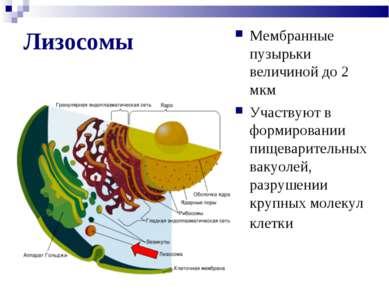 Лизосомы Мембранные пузырьки величиной до 2 мкм Участвуют в формировании пище...