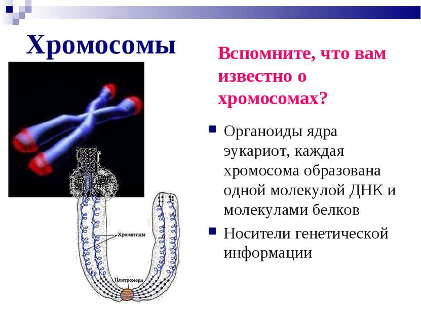 Хромосомы Органоиды ядра эукариот, каждая хромосома образована одной молекуло...