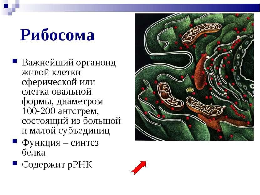 Рибосома Важнейший органоид живой клетки сферической или слегка овальной форм...