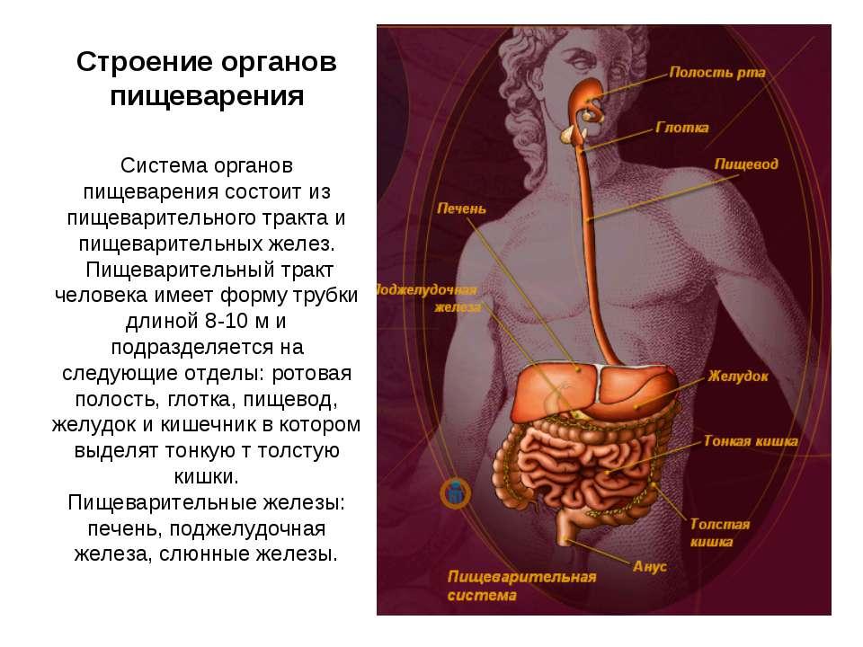 Строение органов пищеварения Система органов пищеварения состоит из пищеварит...