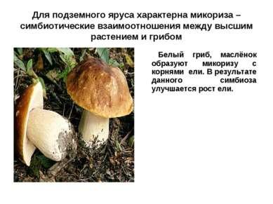 Для подземного яруса характерна микориза – симбиотические взаимоотношения меж...