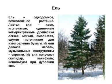 Ель Ель – однодомное, вечнозеленое растение. Листья ели – хвоя, игольчатые, о...