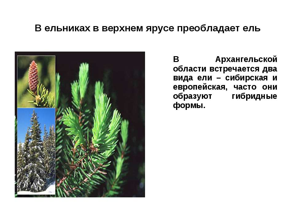 В ельниках в верхнем ярусе преобладает ель В Архангельской области встречаетс...