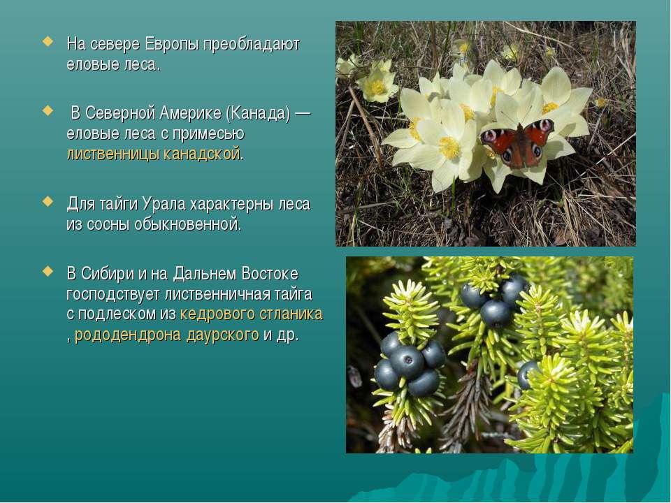 На севере Европы преобладают еловые леса. В Северной Америке (Канада)— еловы...