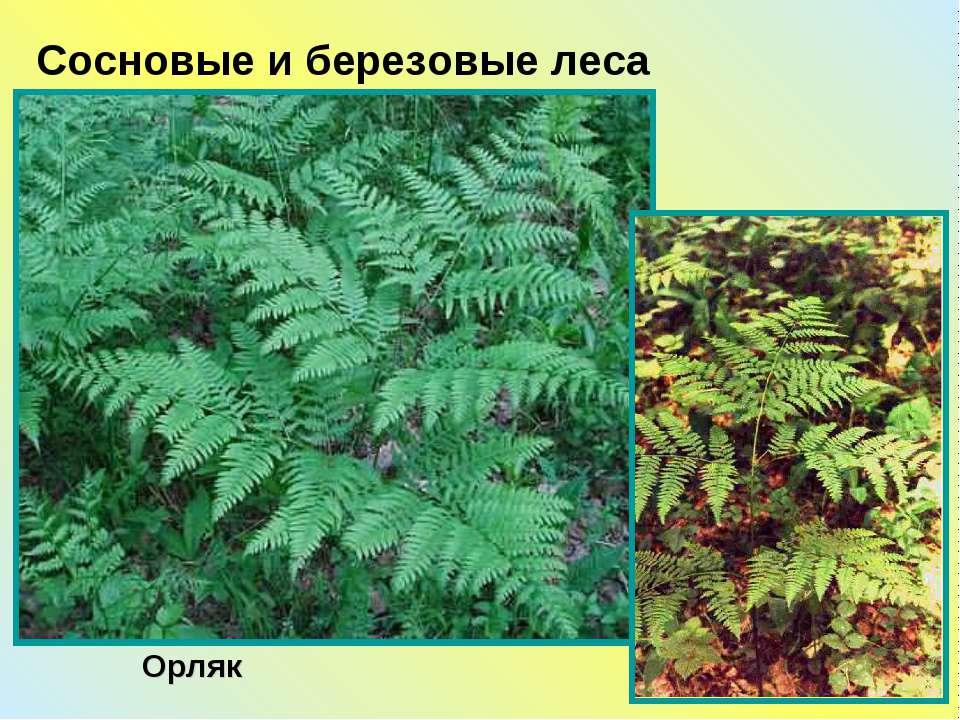 Орляк Сосновые и березовые леса