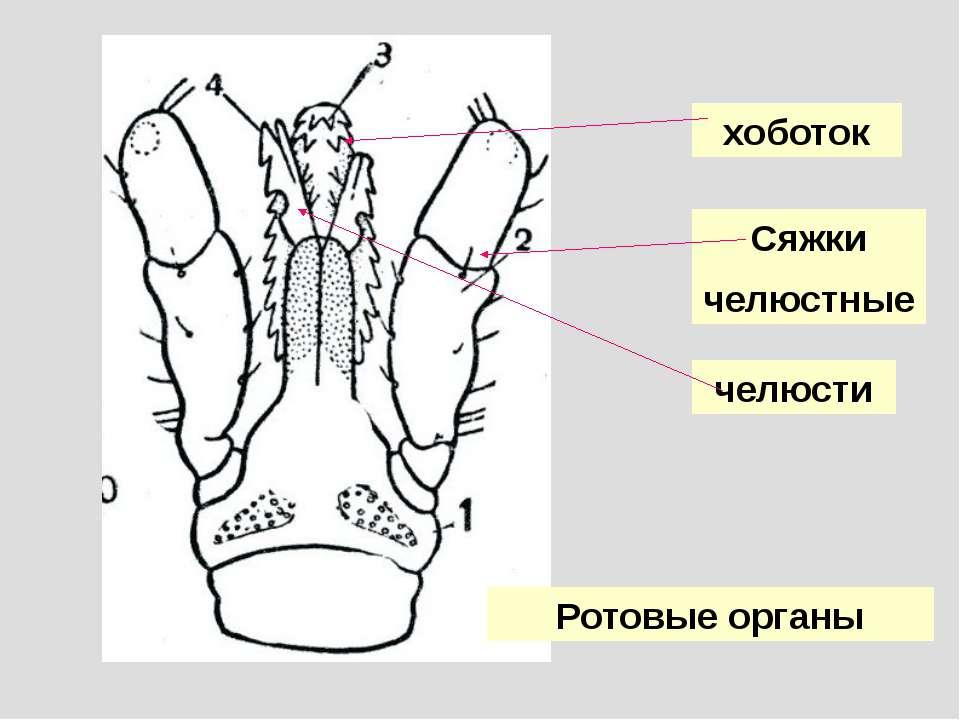 хоботок Сяжки челюстные челюсти Ротовые органы