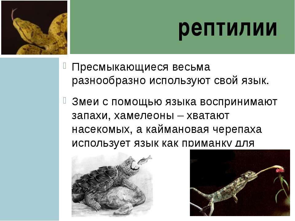 рептилии Пресмыкающиеся весьма разнообразно используют свой язык. Змеи с помо...