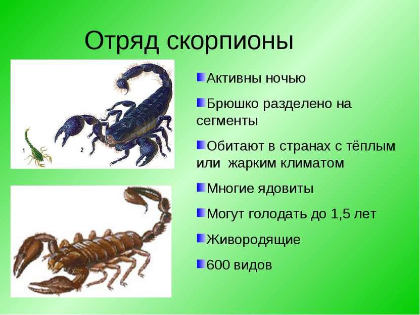 Отряд скорпионы Активны ночью Брюшко разделено на сегменты Обитают в странах ...