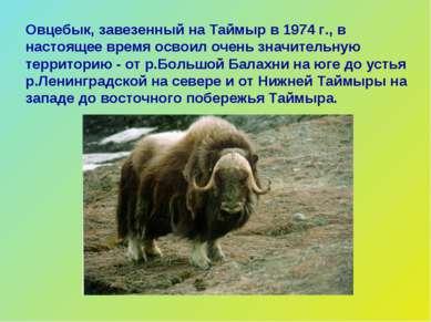 Овцебык, завезенный на Таймыр в 1974 г., в настоящее время освоил очень значи...