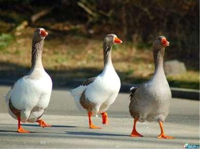 Одомашненные птицы Гусь домашний. Современные породы гусей можно классифициро...