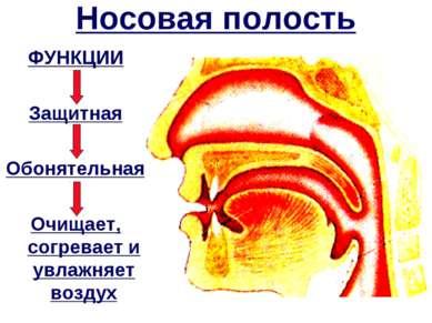 Носовая полость ФУНКЦИИ Защитная Обонятельная Очищает, согревает и увлажняет ...