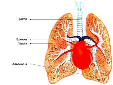Трахея Бронхи Легкие Альвеолы