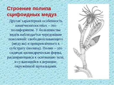 Строение полипа сцифоидных медуз Другая характерная особенность кишечнополост...