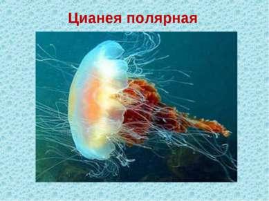 Цианея полярная