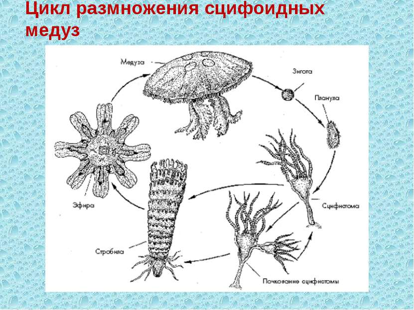 Цикл размножения сцифоидных медуз