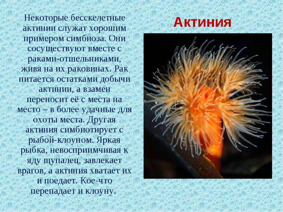 Актиния Некоторые бесскелетные актинии служат хорошим примером симбиоза. Они ...