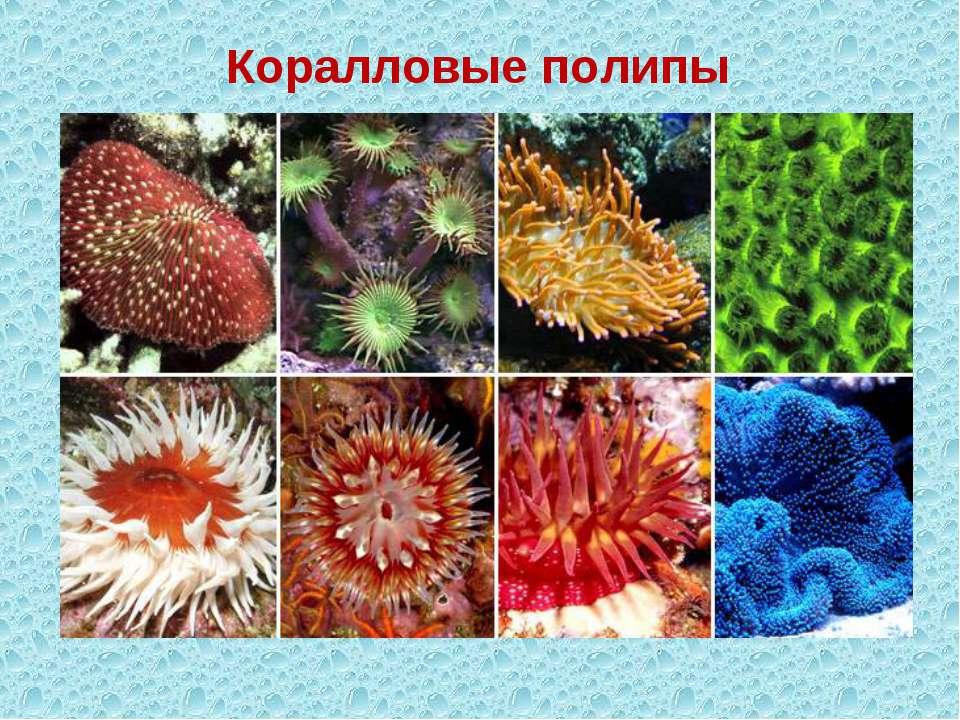 Коралловые полипы