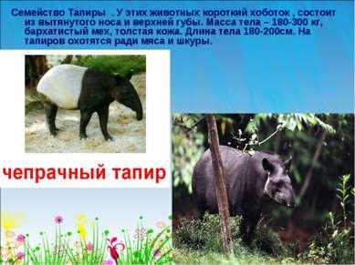 Семейство Тапиры . У этих животных короткий хоботок , состоит из вытянутого н...