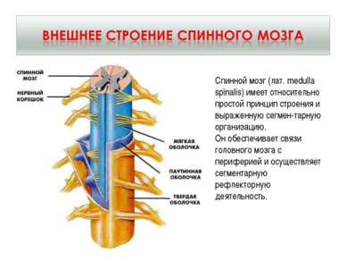 Спинной мозг (лат. medulla spinalis) имеет относительно простой принцип строе...