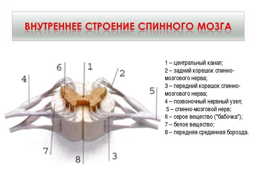 1 – центральный канал; 2 – задний корешок спинно-мозгового нерва; 3 – передни...