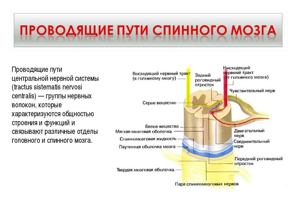 Проводящие пути центральной нервной системы (tractus sistematis nervosi centr...