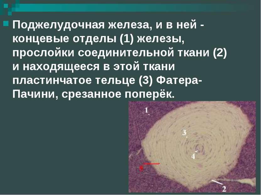 Поджелудочная железа, и в ней - концевые отделы (1) железы, прослойки соедини...