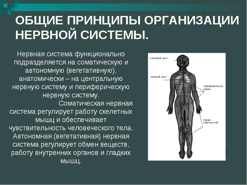 ОБЩИЕ ПРИНЦИПЫ ОРГАНИЗАЦИИ НЕРВНОЙ СИСТЕМЫ. Нервная система функционально под...