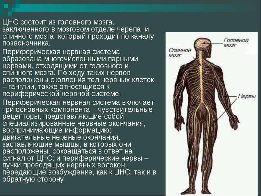 ЦНС состоит из головного мозга, заключенного в мозговом отделе черепа, и спин...