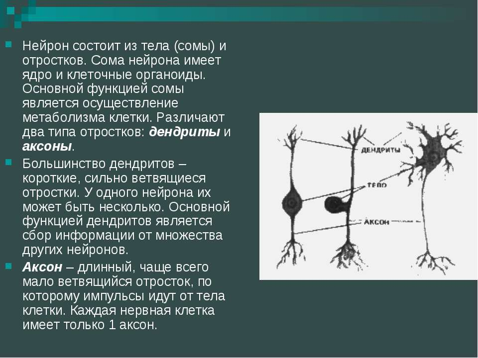 Нейрон состоит из тела (сомы) и отростков. Сома нейрона имеет ядро и клеточны...