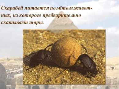 Скарабей питается помётом живот- ных, из которого предварительно скатывает шары.