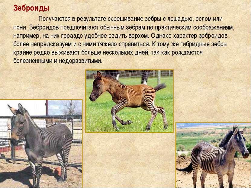 Зеброиды Получаются в результате скрещивание зебры с лошадью, ослом или пони....