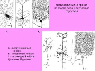 Б – веретеновидный нейрон В – звездчатый нейрон Г – пирамидный нейрон Д – кле...
