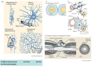 Нейроглиальные клетки мозга млекопитающих.