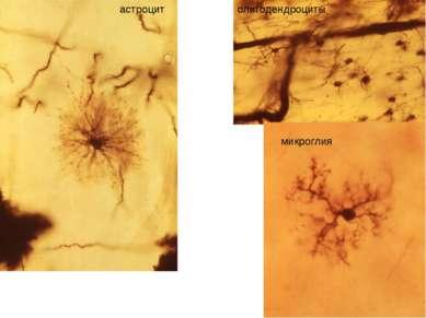 астроцит олигодендроциты микроглия