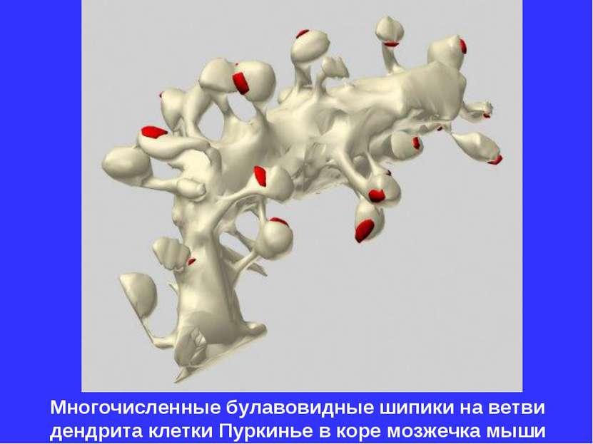 Многочисленные булавовидные шипики на ветви дендрита клетки Пуркинье в коре м...