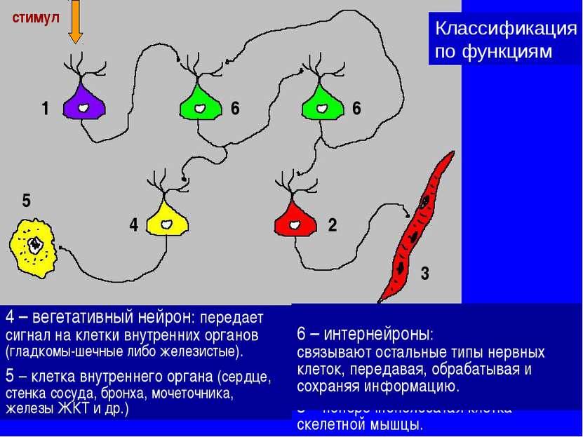 1 – сенсорный нейрон: воспринимает стимулы из внешней среды (либо из внутренн...
