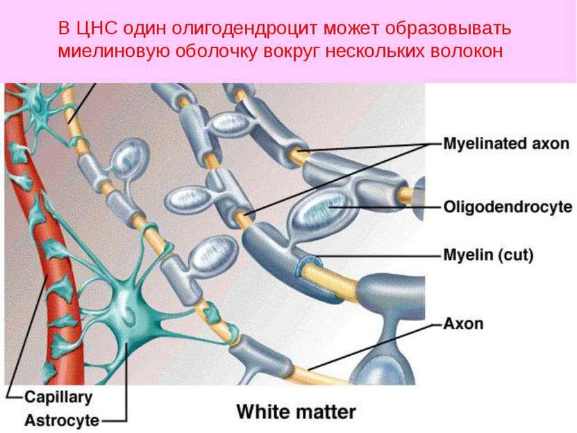 В ЦНС один олигодендроцит может образовывать миелиновую оболочку вокруг неско...