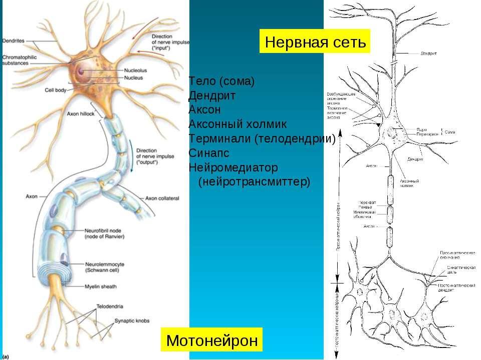 Нервная сеть Мотонейрон Тело (сома) Дендрит Аксон Аксонный холмик Терминали (...