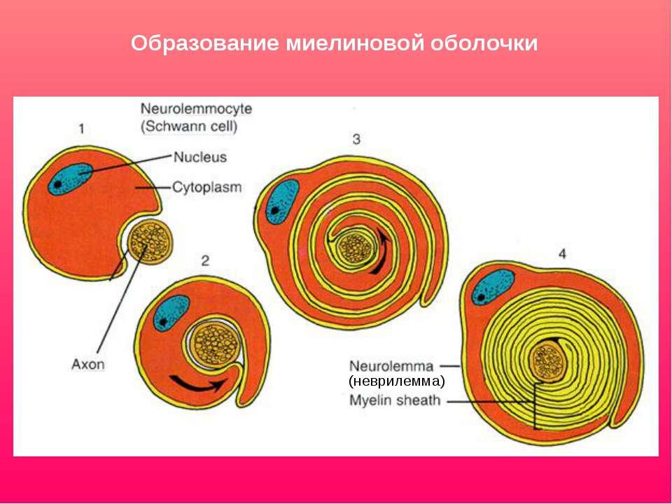 Образование миелиновой оболочки (неврилемма)